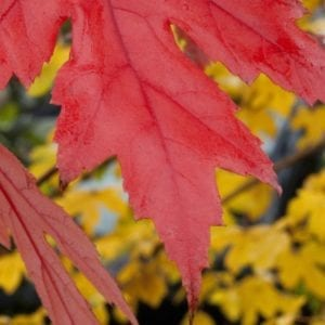 Up close picture of Acer Rubrum Autumn Blaze foliage