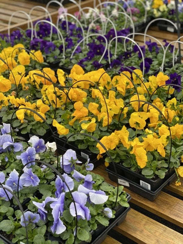 Trays of yellow and purple pansies