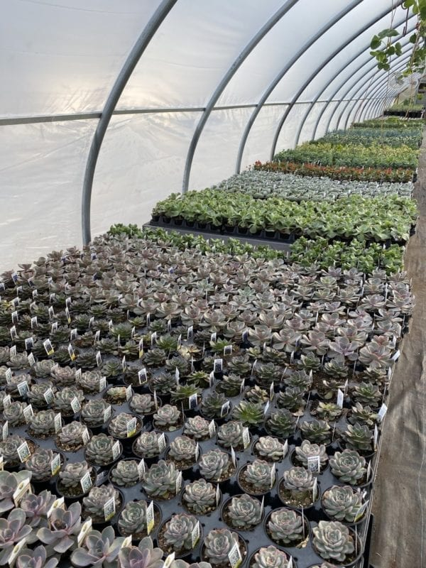 Rows of Succulents in a green house